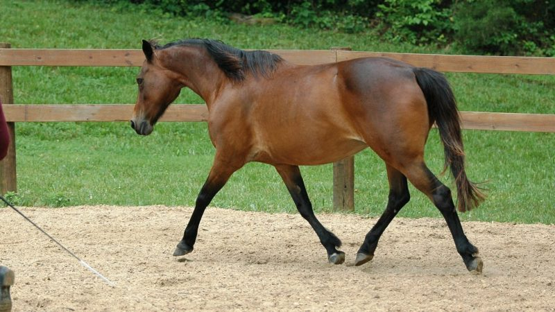 The Most Talented, Beautiful DressagePony